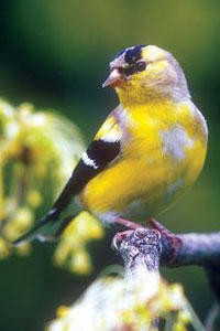 Molting Goldfinch
